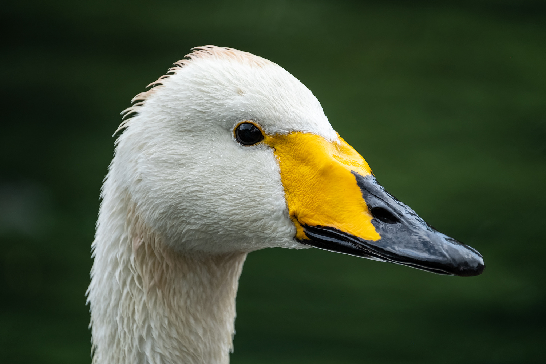 Whooping Swan Portrait by Mohan Krishna
