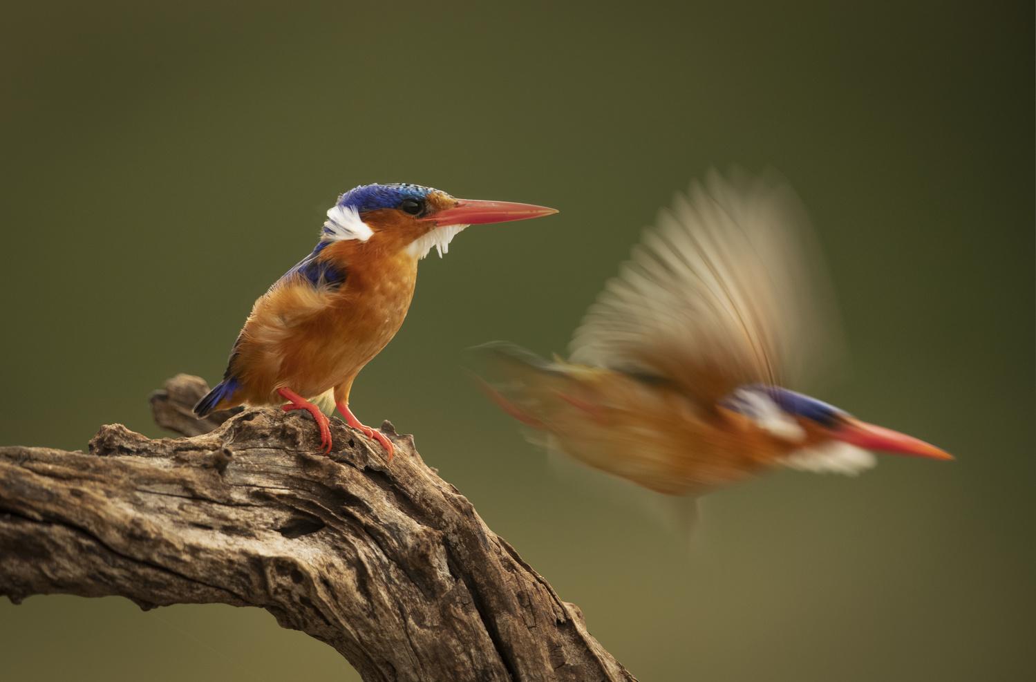 Malachite Kingfisher Launch by Russell Hunter
