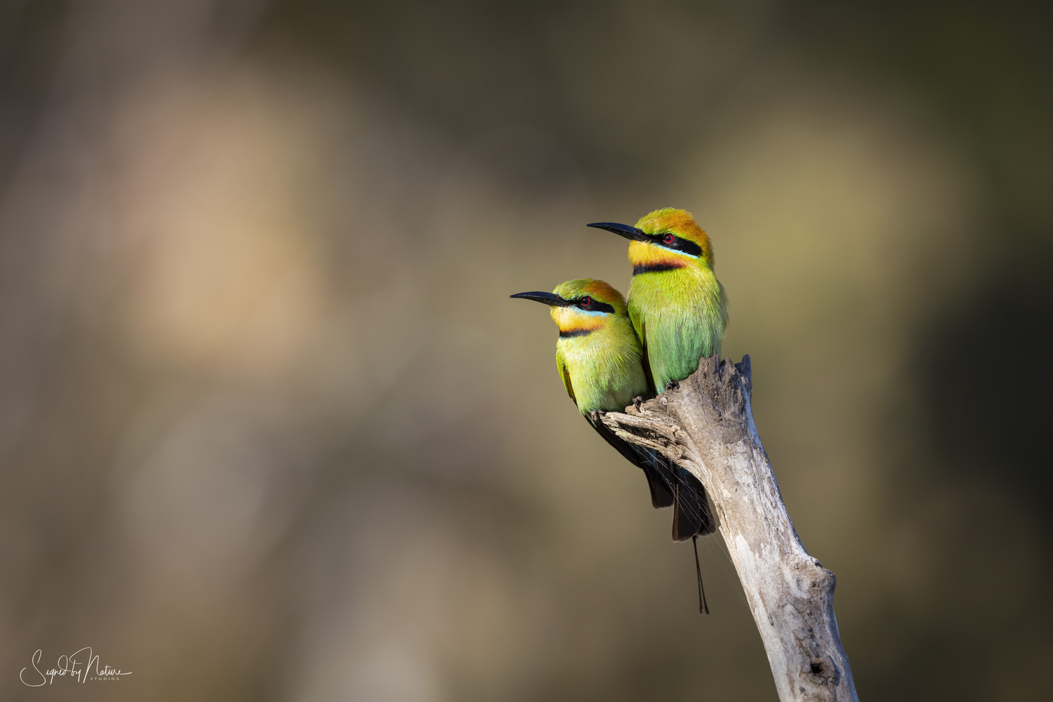 Rainbow Bee-eater Pair by Russell Hunter