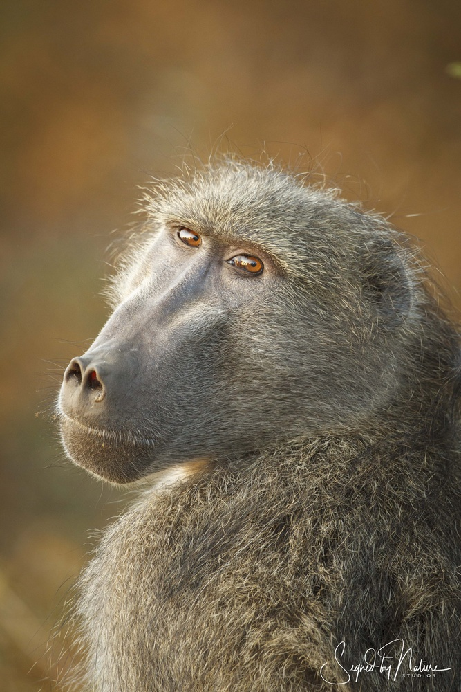 Chacma Baboon by Russell Hunter
