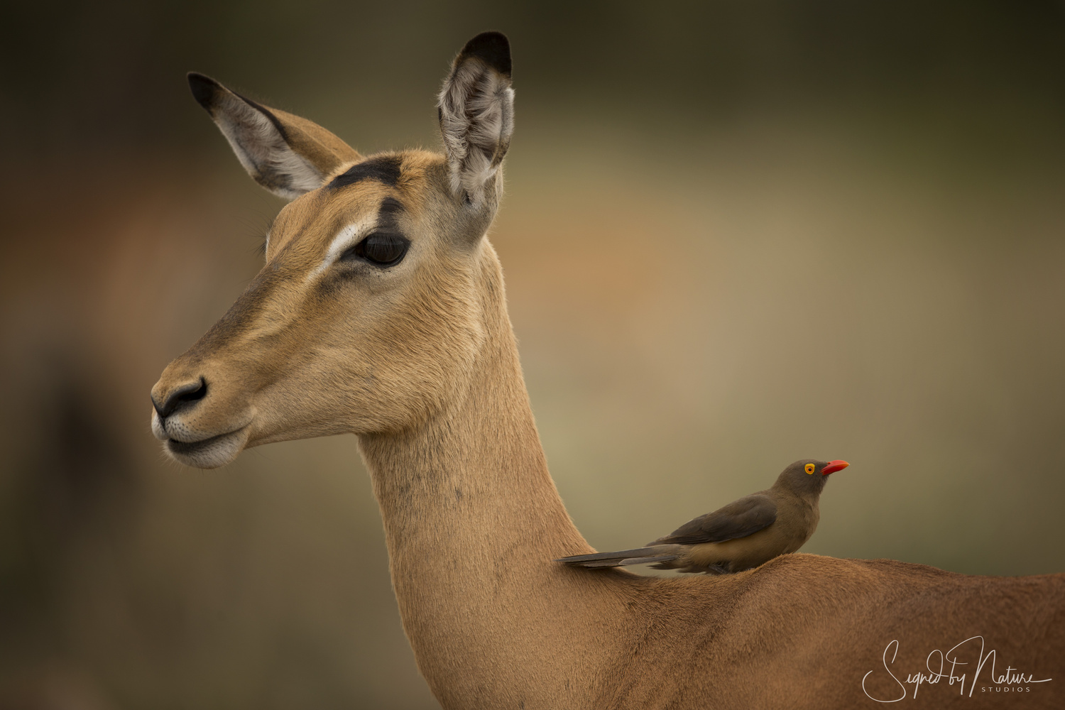 Impala and Oxpecker by Russell Hunter