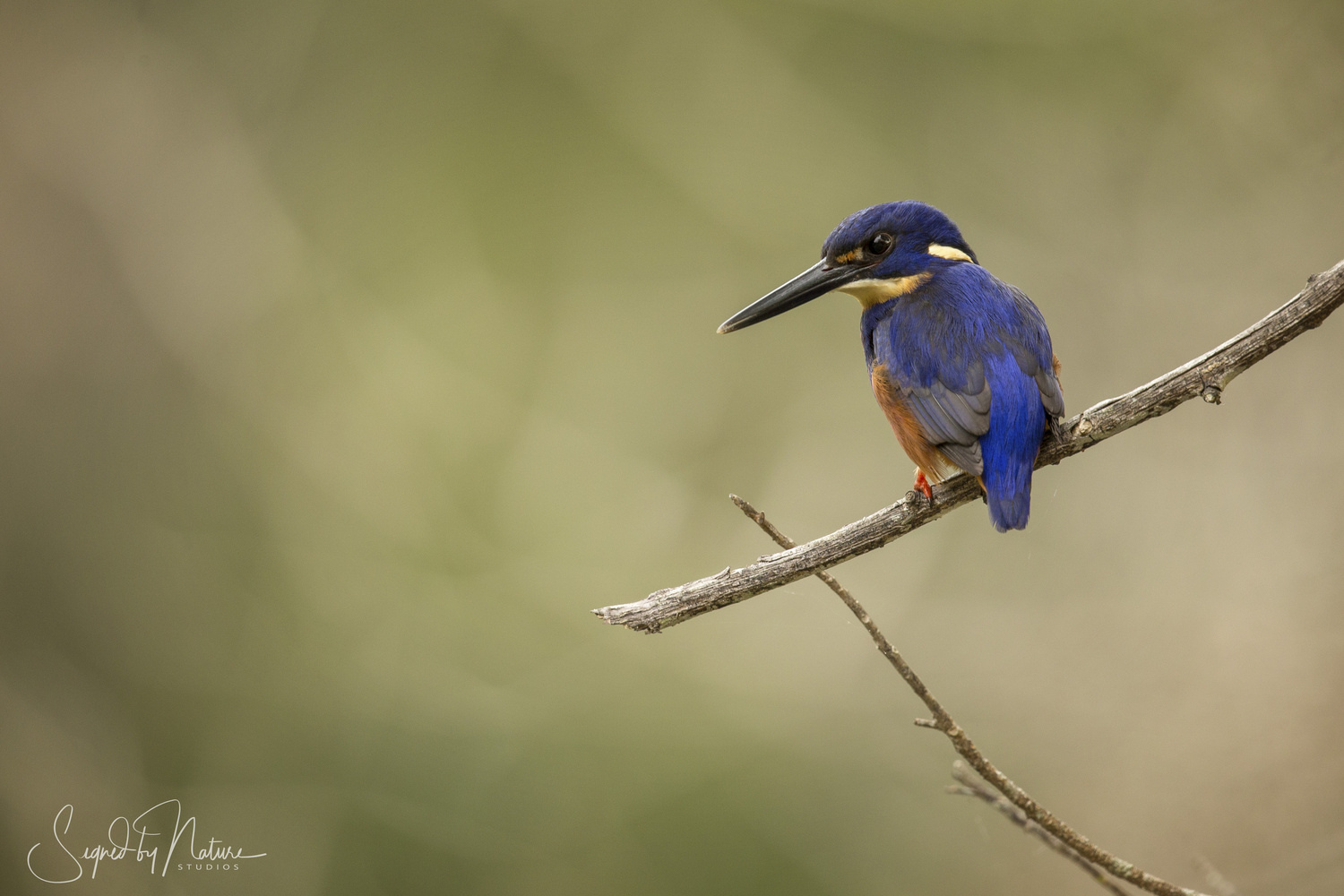 Azure Kingfisher by Russell Hunter