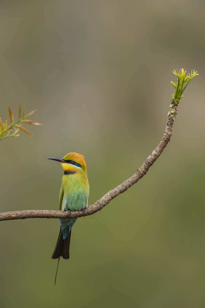 Rainbow Bee-eater by Russell Hunter