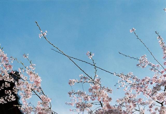 sakura by MIKIO KATAOKA