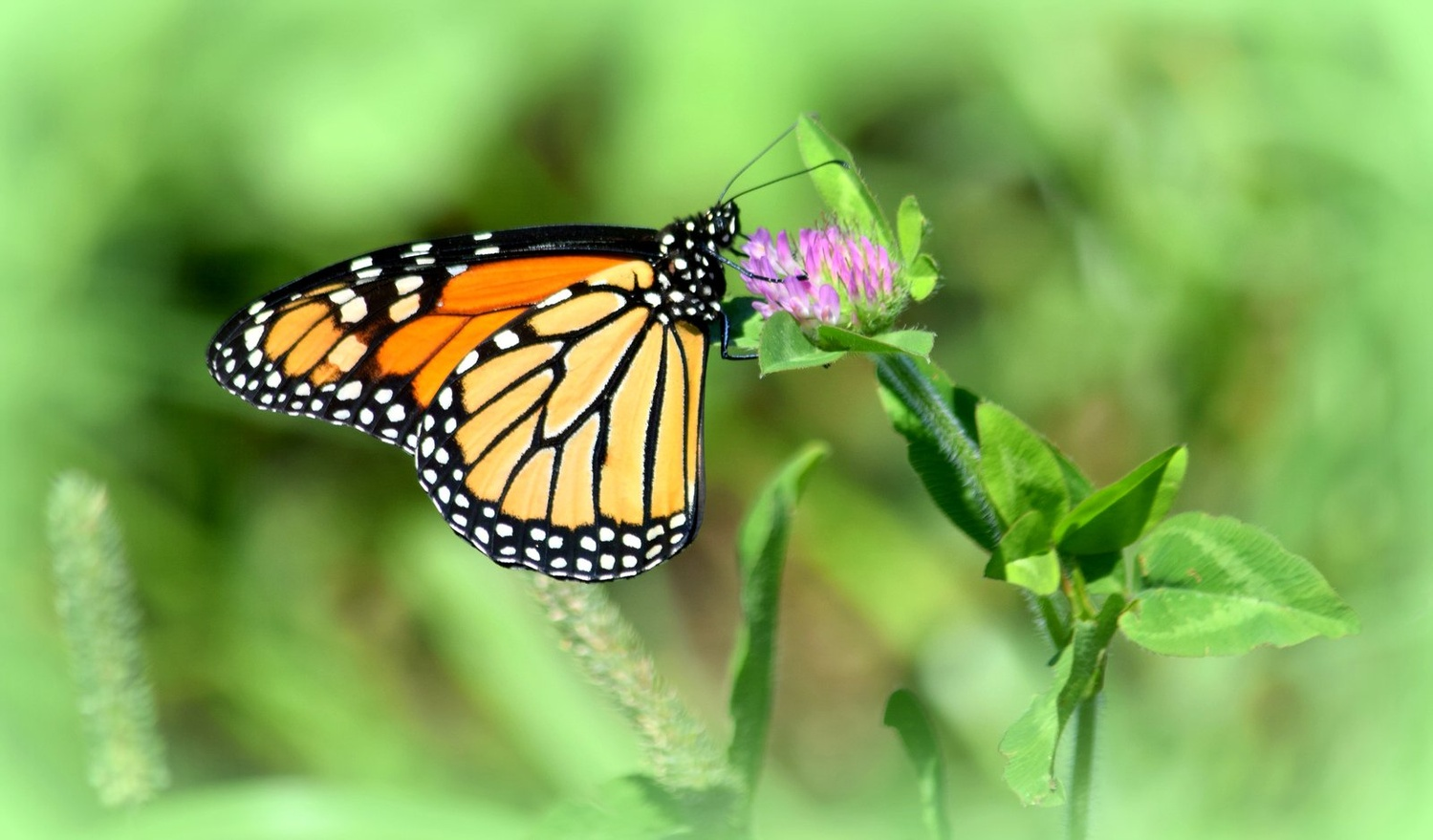 Monarch and Clover by Pam Stewart