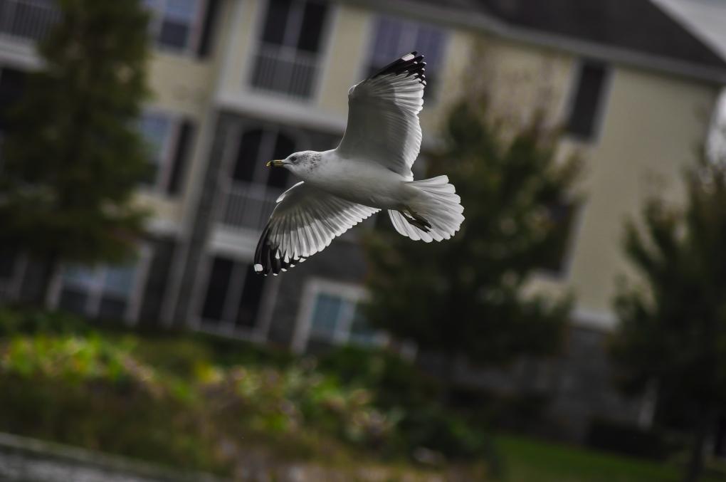 seagull by Almutaiz Jan