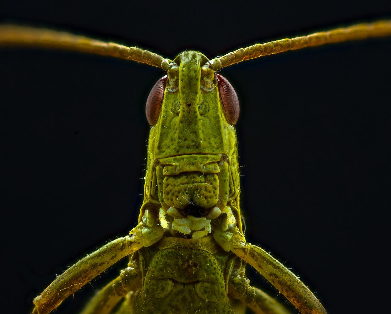 grasshopper by Dmitry A