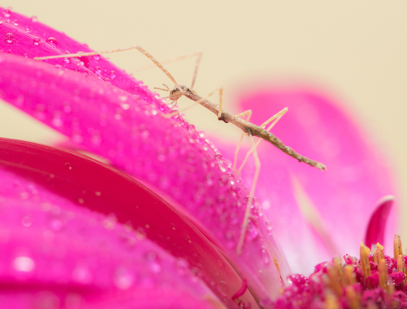Baby stick-insect (Phasmatodea) by Dmitry A