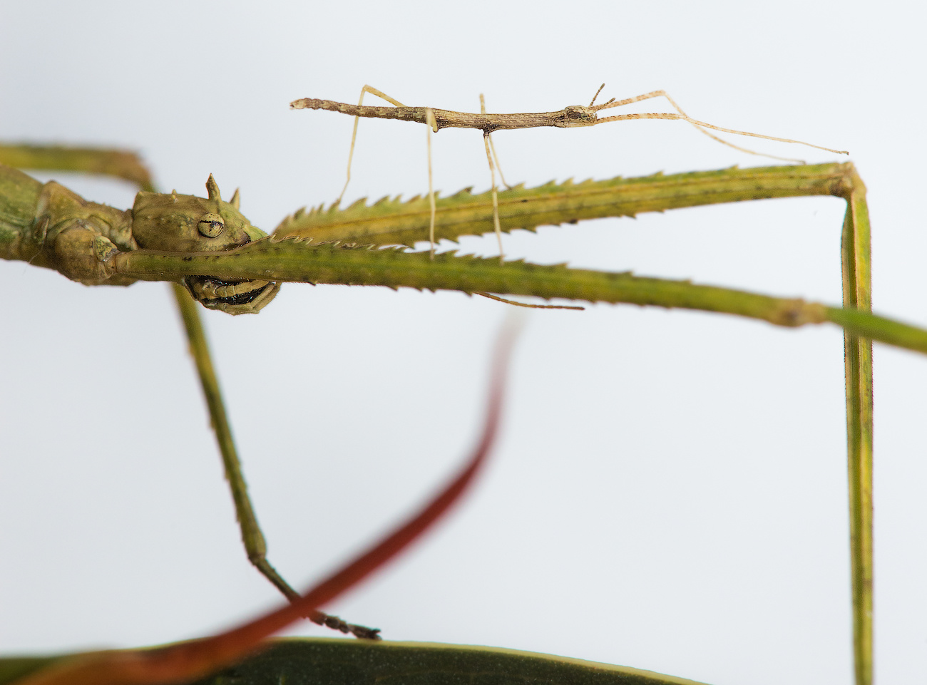 Baby stick-insect (Phasmatodea) with its parent by Dmitry A