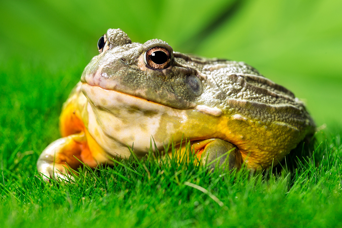 Mr. Toad by Ross Thayer