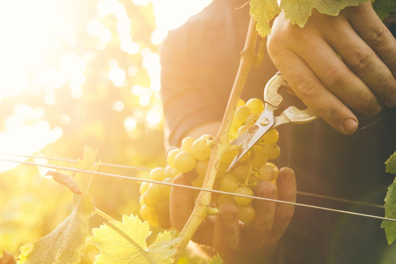 Grape picking by Rok Frešer