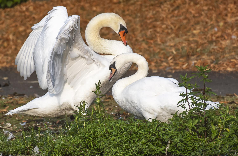 Swan Family by Saranathan Asuri