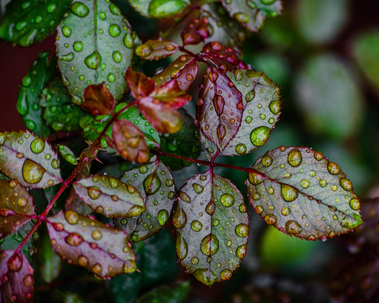 Rain water drops on beautiful leafs by Madhan GC
