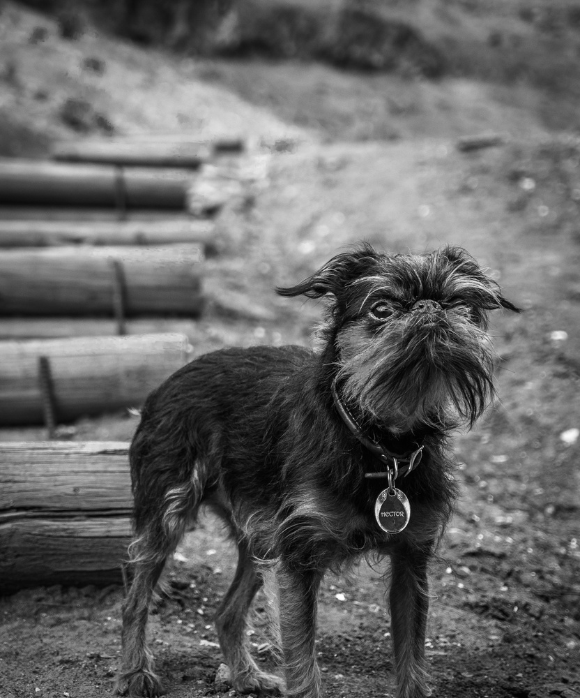 Hector the Brussels Griffon by Ryan McQuillan