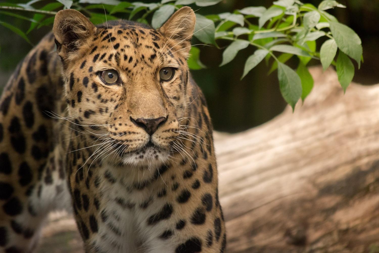 Amur Leopard by Stuart Vivian