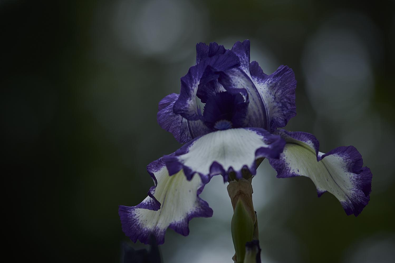 Grumpy Iris by Frank Davis
