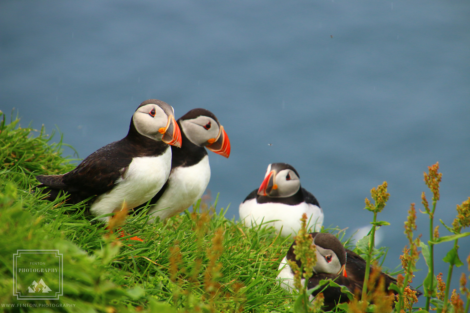 Atlantic Puffins by Fenton Photography