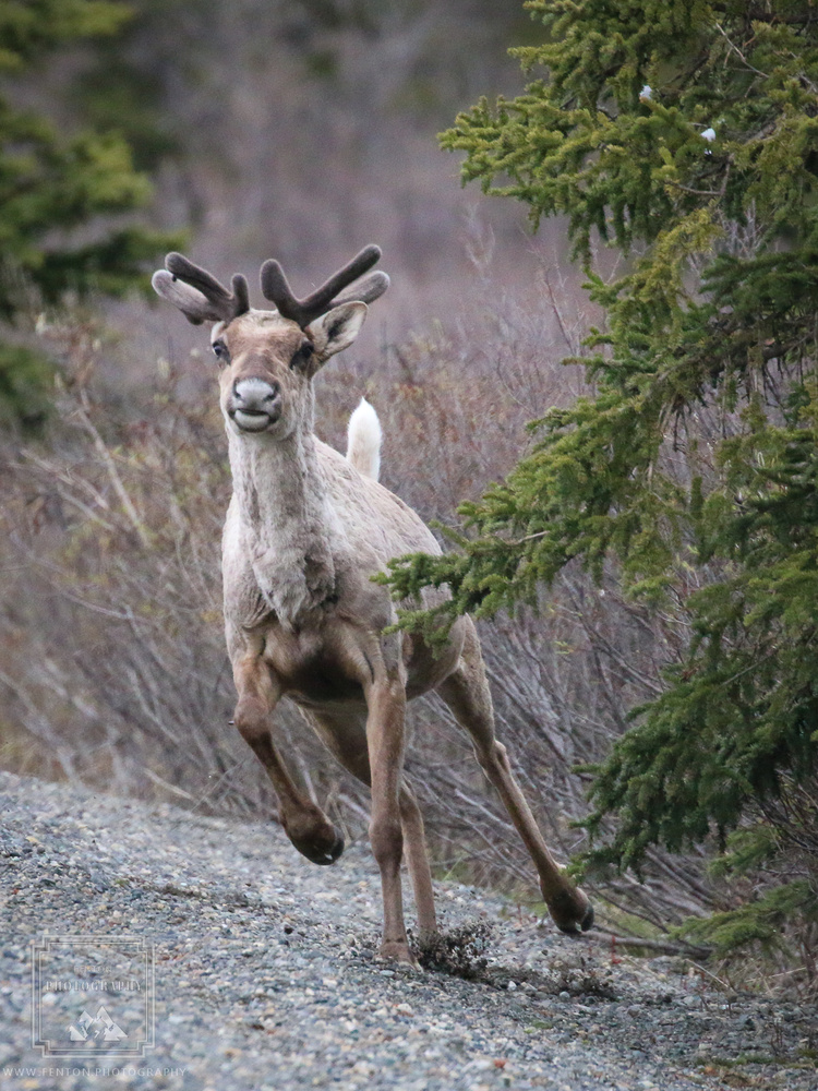 Young Caribou by Fenton Photography