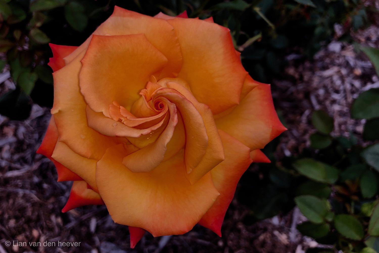 Orange Rose by Lian van den Heever