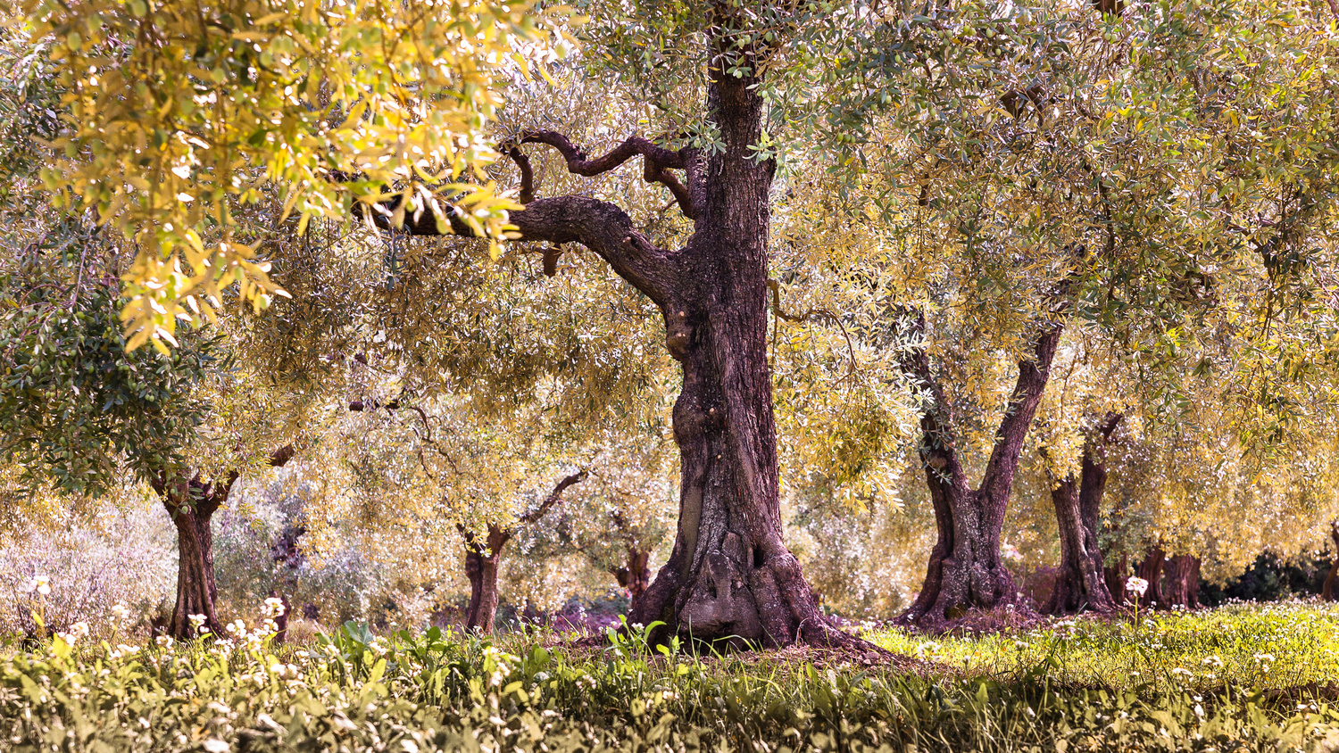 Forest of olive trees in automn (France) by david huguet