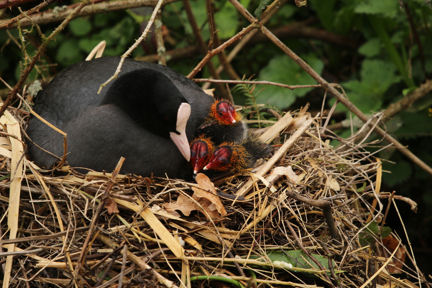 Coot chicks by Kevin Sanders