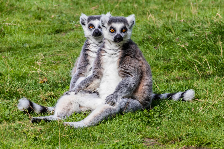 Lemurs from Wingham Wildlife Park by Kevin Sanders