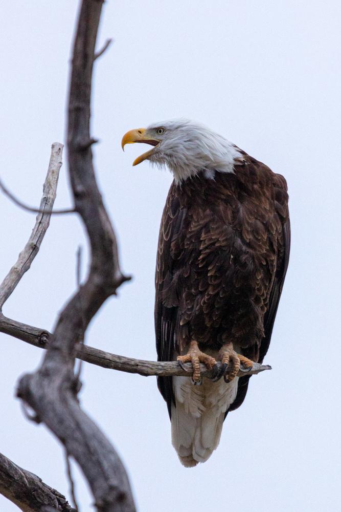Bald eagle by Erik Black