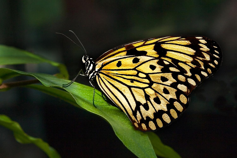 Yellow butterfly by Paul Drajem