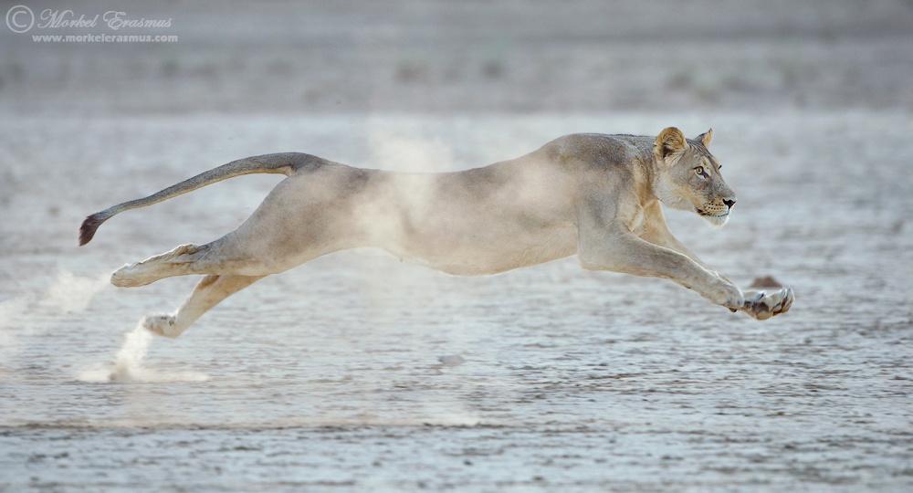 Lion in Flight by Morkel Erasmus
