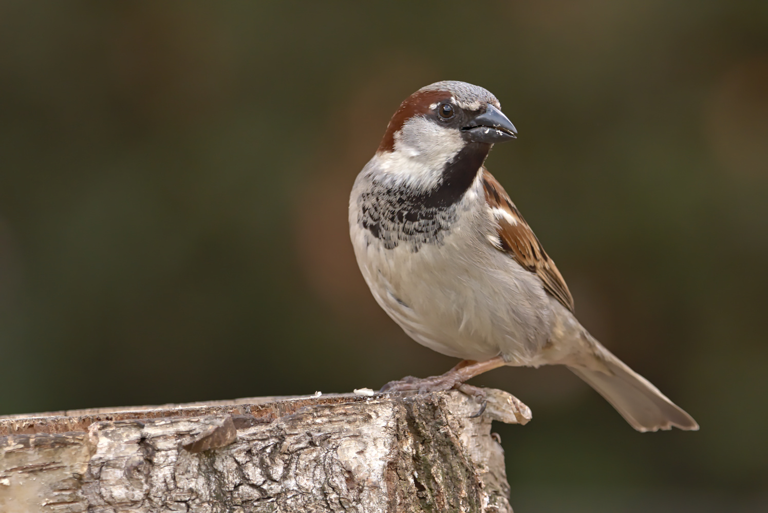 House sparrow (Passer domesticus) male by Lukasz J