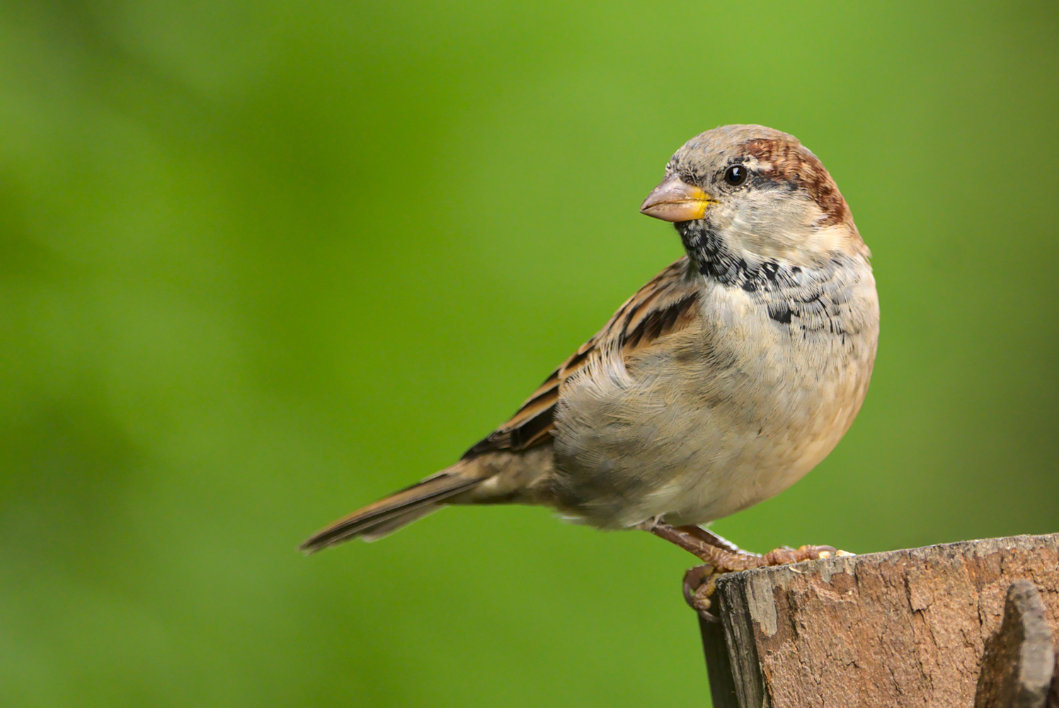 Juvenile House sparrow (Passer domesticus) male by Lukasz J