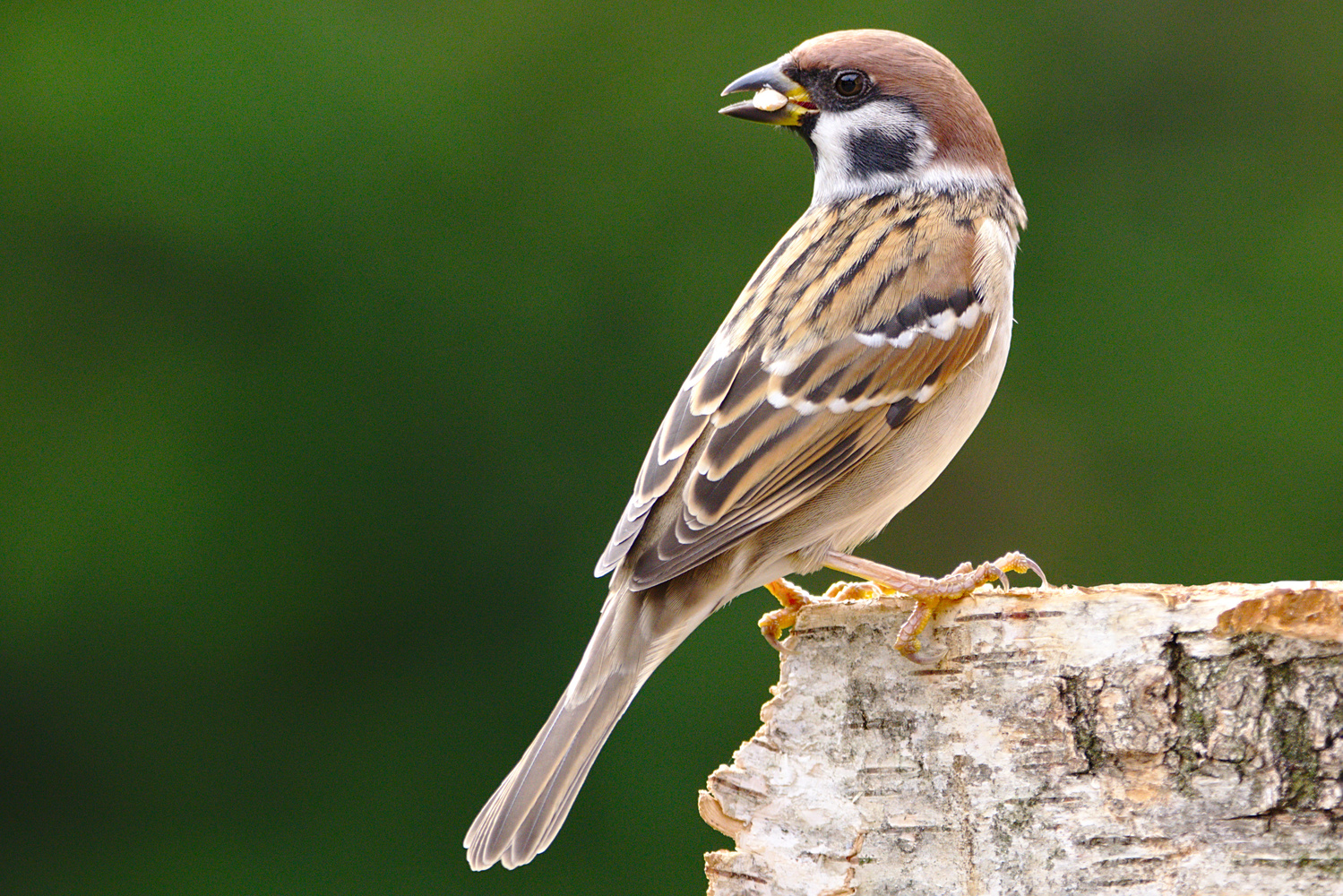 Eurasian tree sparrow (Passer montanus) by Lukasz J