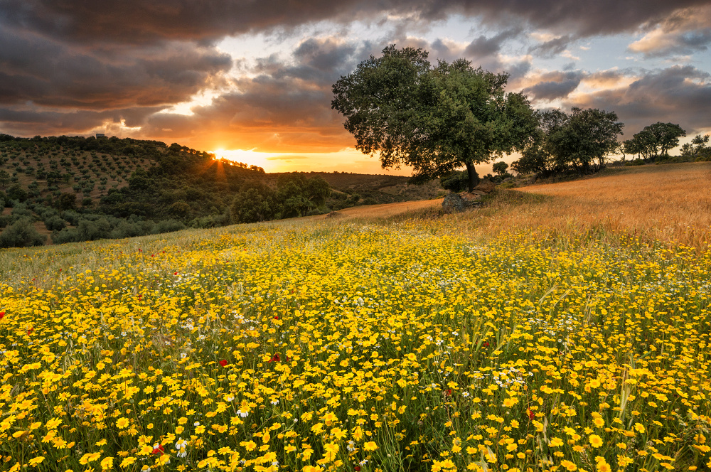 Yellow flowers at sunset by Ken Mitchell