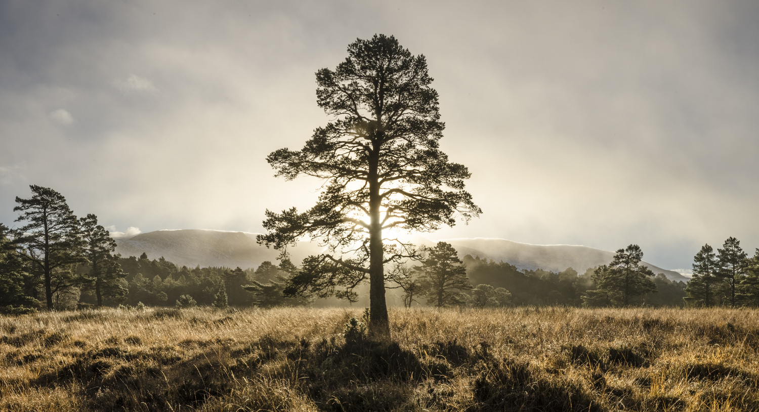 Old Faithful - Golden Pine by David Russell