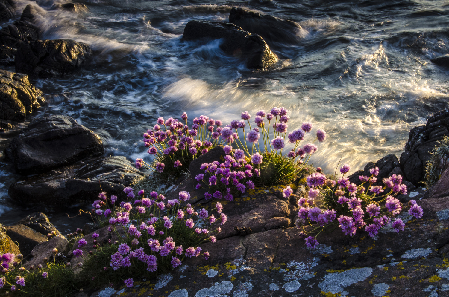 Sea Pink by David Russell