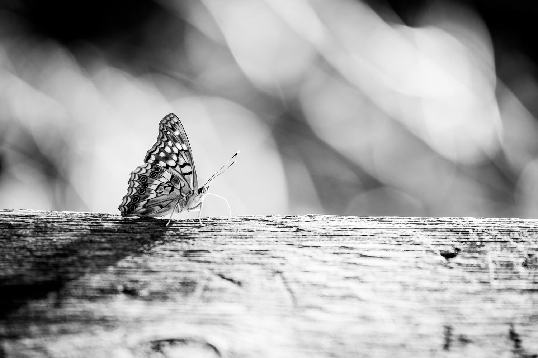 B/W Butterfly by Christopher Stoddard