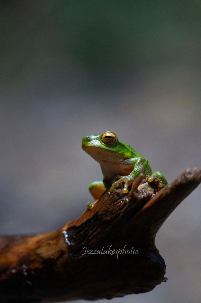 Baby green tree frog by Jeremy Martignago