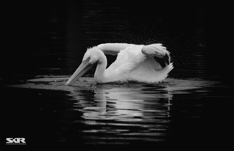 White Pelican by Scott Ralston