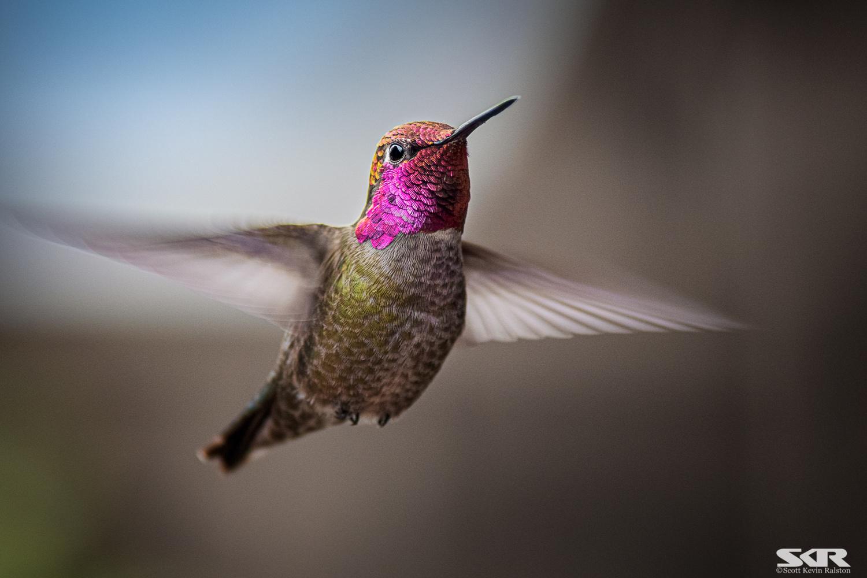 Anna's Hummingbird in flight by Scott Ralston