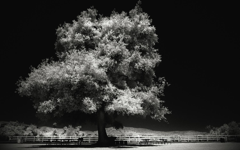 Infrared tree by Scott Ralston