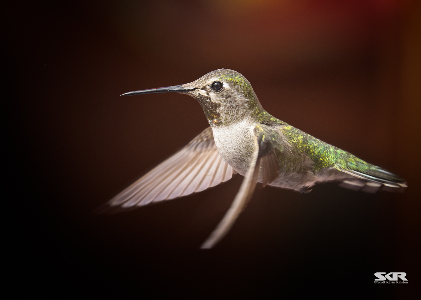 Hummingbird in flight by Scott Ralston