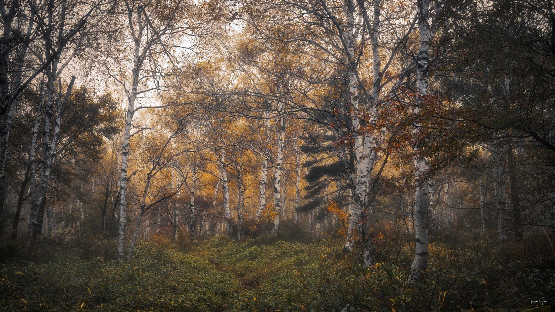 White birch by Taisuke Goto