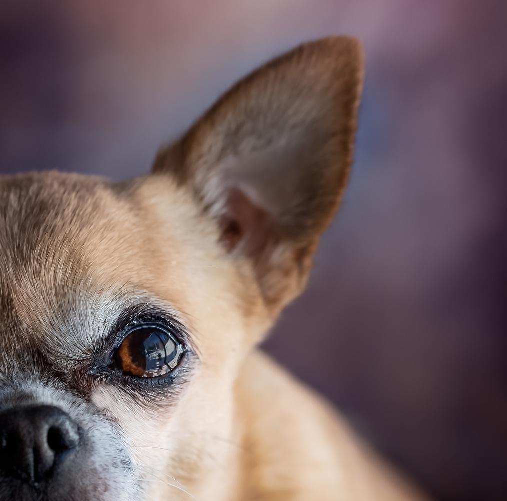 Chihuahua by Mona Walsh
