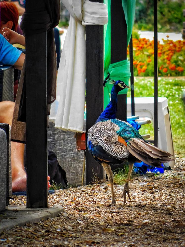 Peacock by Andrej Nestorovski