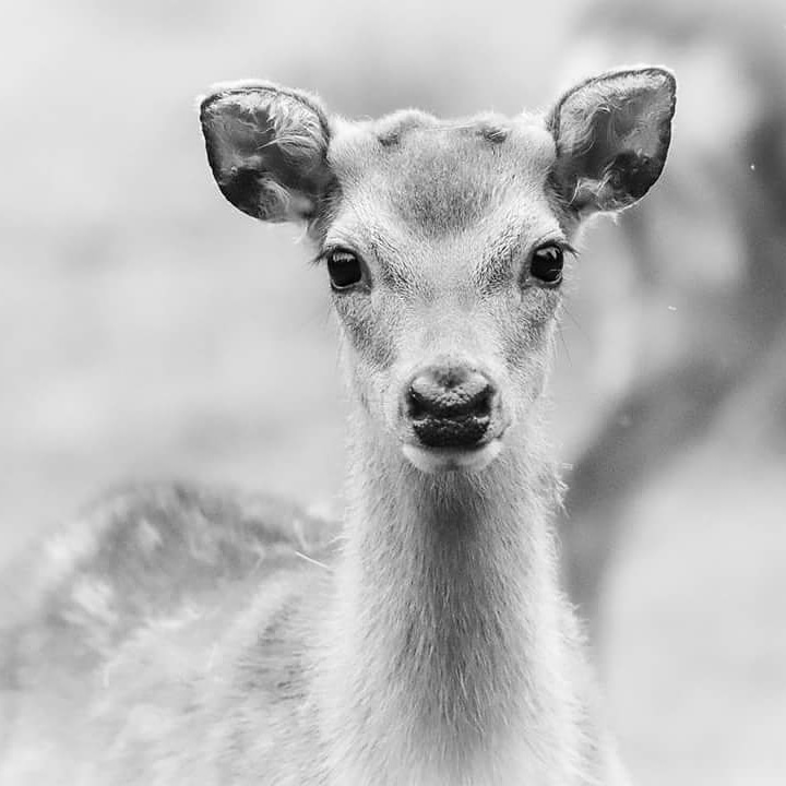 Sika by COLIN GRAHAM
