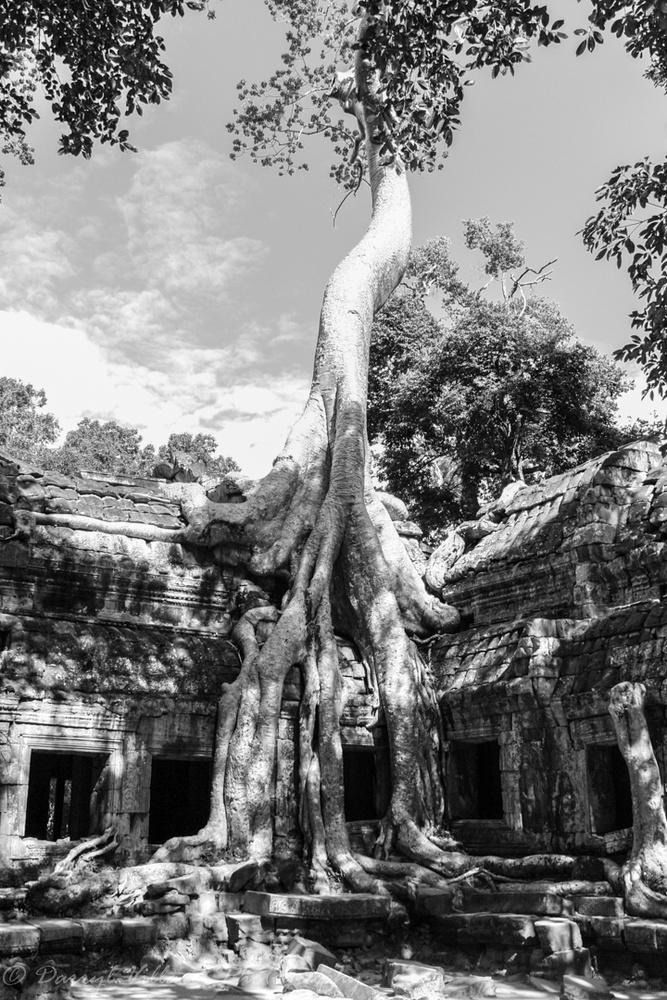 Angkor Watt return of the trees by Darryl Villaret