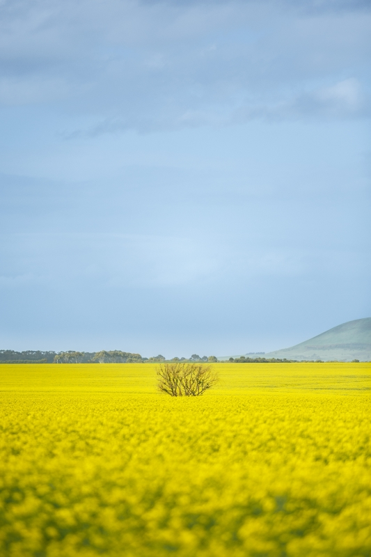 Sea of Yellow by Liam Hammersley