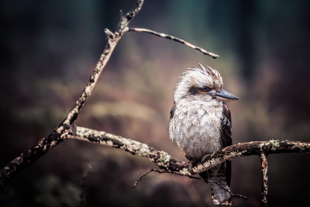 Cold Kookaburra by Liam Hammersley