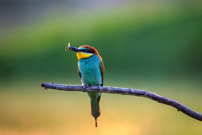 Merops apiaster by Tadej Žlahtič