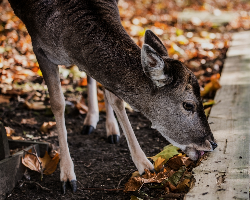 Fallow Deer by Stephen Griffin